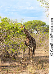 Wild Reticulated Giraffe and African landscape in national...
