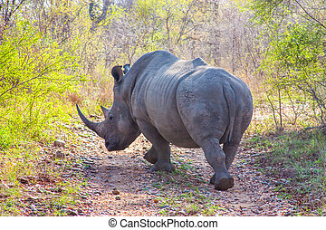 Wild rhino  and African landscape in national Kruger Park in UAR
