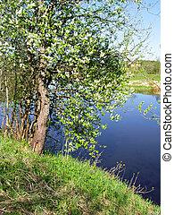 wild riverside aple tree
