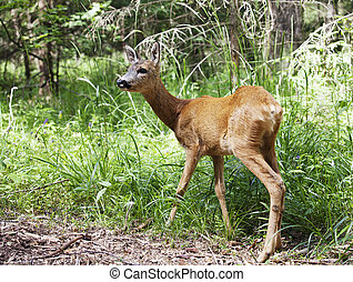 Wild roe deer in the forest