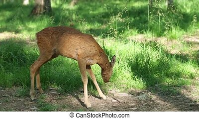 Wild roe deer in the forest on a sunny summer day