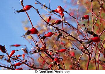 Wild Rose Berries Against Blue Sky