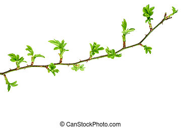 Wild rose branch with fresh leaves
