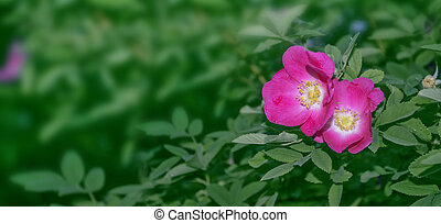 Wild rose buds colorful flowers on a background summer...