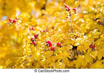 Wild rose hips on the bush in autumn