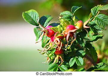 Wild rose hips on the bush