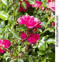 Wild rose in a garden