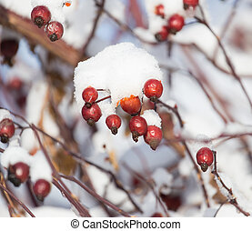 wild rose in the snow on the nature