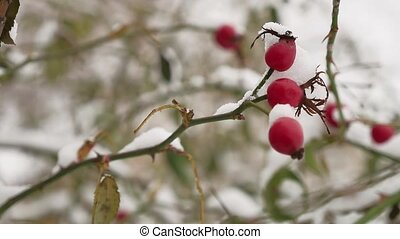 wild rose red berry bush and berries covered with snow winter frost nature