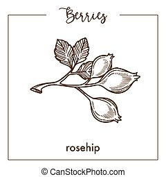Wild rosehip berries on branch monochrome sepia sketch - ...