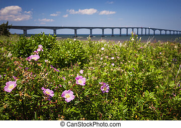 Wild roses at Confederation Bridge