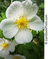 wild roses bloom