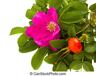 wild roses border isolated on wnite background