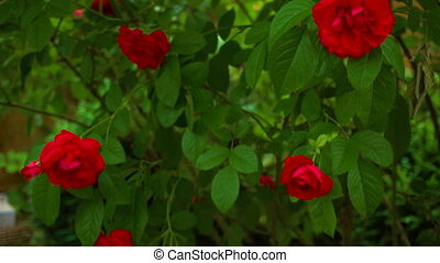 Wild roses on the bush - Red roses on the bush. Blossoming...