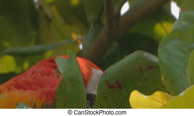 Wild Scarlet Macaw seen on a tour of a Costa Rica Rainforest...