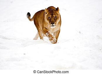 wild, schnee, löwin, katz