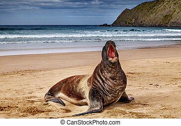 Wild sea lion on the beach, New Zealand