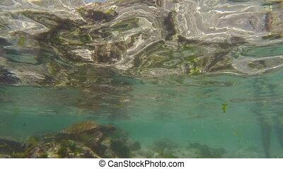 Wild sea turtle swimming in galapagos islands