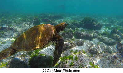Wild sea turtle swimming underwater in galapagos