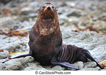 wild seal at Seal colony in Kaikoura New Zealand, close up