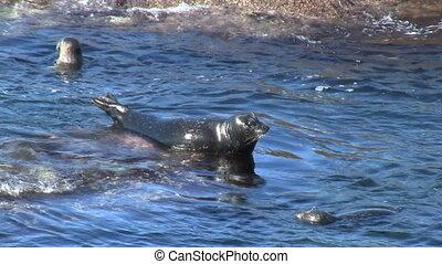 Wild Seal On Rock