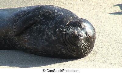 Wild Seal Sticking Tongue Out - Wild Seal sticking tongue...