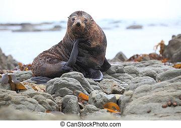 wild seal at Seal colony coastal in Kaikoura New Zealand