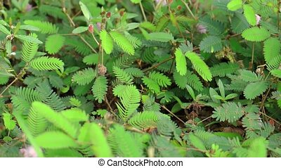 Wild Sensitive Plant Reacting to Stimulus. FullHD 1080p video