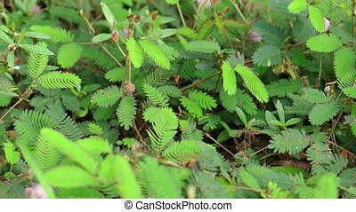 Dense foliage of a wild Mimosa pudica plant reacting by folding up and shrinking away when stimulated by a twig. UltraHD 4k video