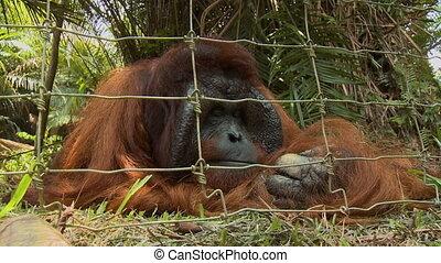 Wild Shy Grey Monkey, Tropical Island, Malaysia - Medium...