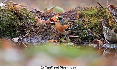 wild singing birds drink water in the autumn forest,...