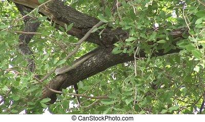 Wild snake tree Africa savannah Kenya - Africa safari wild...