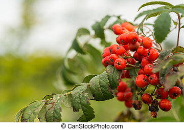Wild sorbus shrub - Closeup of wild sorbus shrub in the...