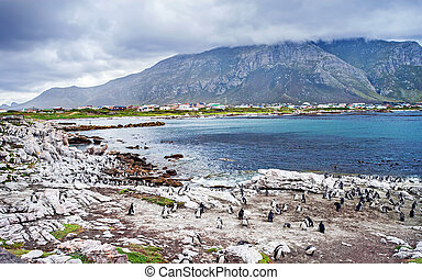 Wild South African penguins colony, wildlife safari, animals of Atlantic ocean waters, Simon's town beach bay, beautiful nature of African continent
