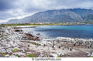 Wild South African penguins colony, wildlife safari, animals...