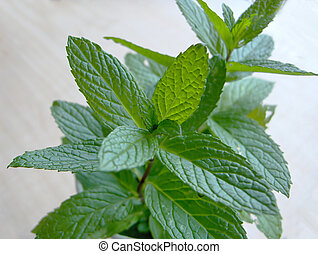 Wild Spearmint - Bunches of fresh wild spearmint with light...