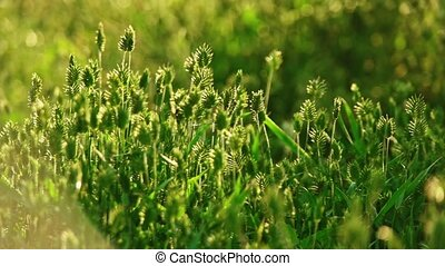 Wild spikelets backlit panning shot - Wild grass spikelets...