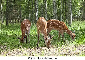Wild spotted deer grazing