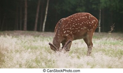 Wild spotted deer grazing in the forest early in the morning