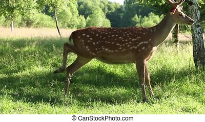 Wild spotted deer in the forest on a sunny summer day