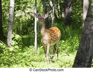 Wild spotted deer in the forest