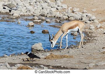 Wild springbok antelopes