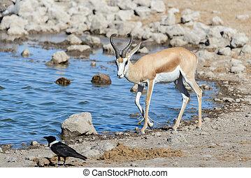 Wild springbok antelopes in the African savanna