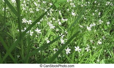 Wild Stellaria white flowers swinging on the wind....