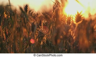 Wild stipa gress fluttering on wind with its yops backlit by golden sunset light