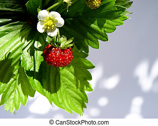 wild strawberries - flower and fruit