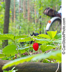 Wild strawberry berry growing in natural environment