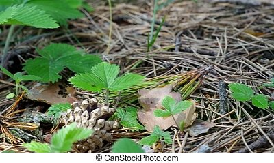 Wild strawberry berry growing in natural environment. Macro...