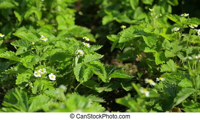 Wild strawberry blooming in the garden