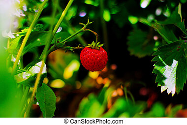 Wild strawberry hanging in the forest
